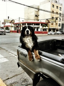 A Bernese Mountain Dog, chillin' in Puerto Madryn.